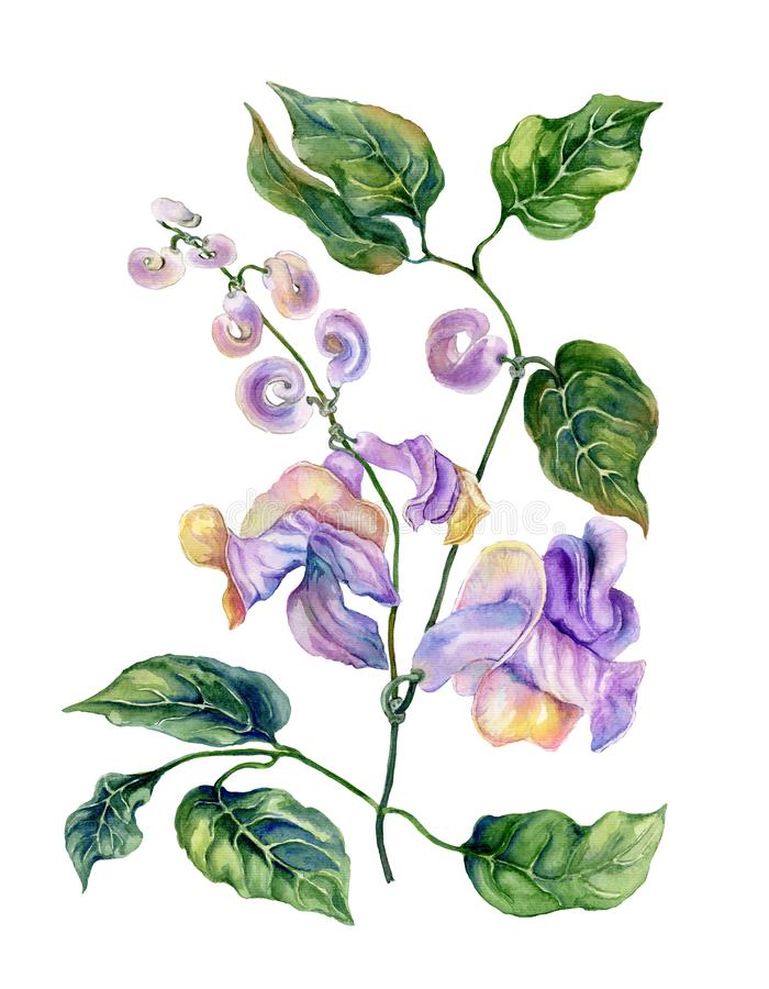 Beautiful snail vine Cochliasanthus caracalla twig with purpe flowers and green leaves. Isolated on white background. stock illustration