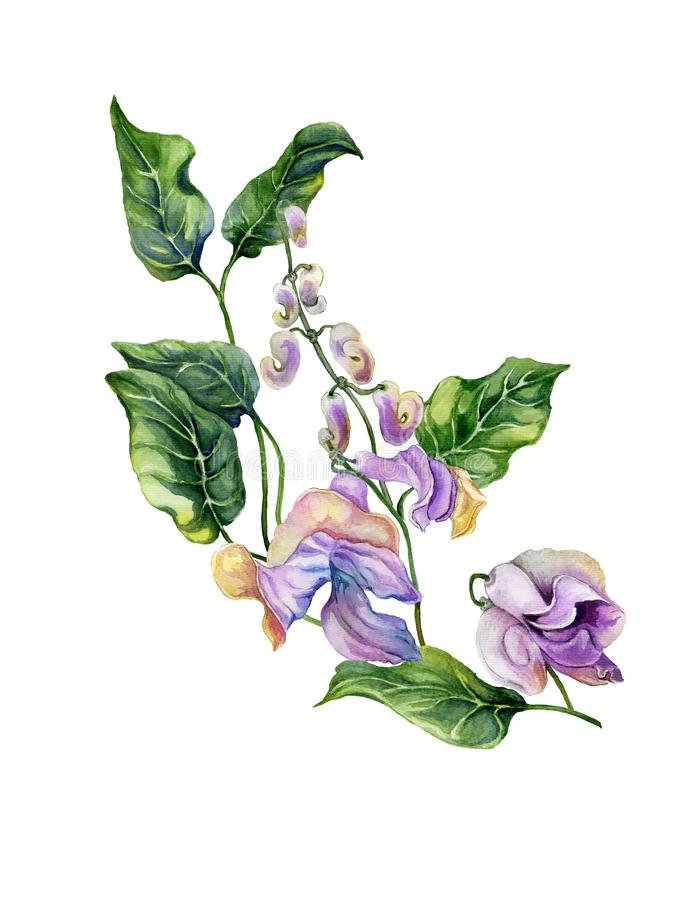 Beautiful snail vine Cochliasanthus caracalla twig with purpe flowers and green leaves. Isolated on white background. Watercolor stock illustration