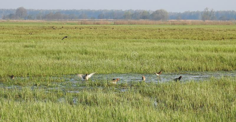 Snipe birds in flood field, Lithuania royalty free stock photos