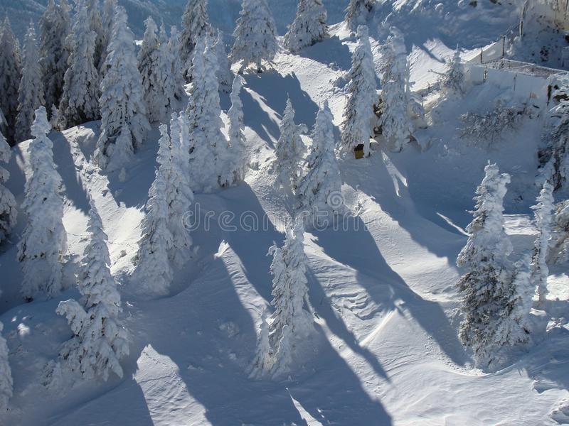 Beautiful Snow Covered Conifer Trees in sunny days stock photography