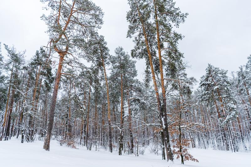 Beautiful snow covered trees in winter. Forest stock photos