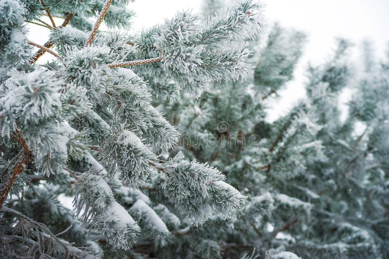 Beautiful snow-covered winter forest picture. The branch is eaten in the snow, it`s snowing. stock photography