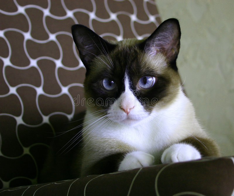 Beautiful snow-footed Siamese cat. Beautiful black, white, tan snow-footed Siamese cat, with blue eyes, pointed ears and unusual markings stock image