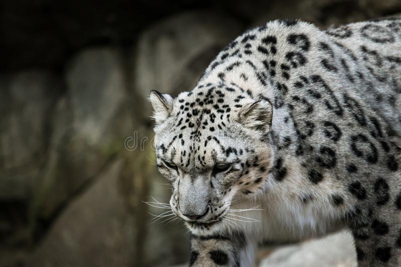 Beautiful Snow Leopard at a local zoo. stock photography