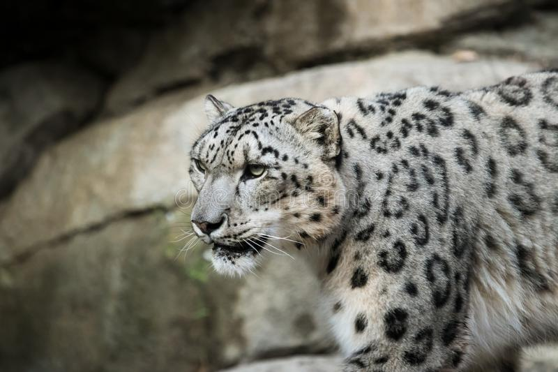 Beautiful Snow Leopard at a local zoo. royalty free stock photos