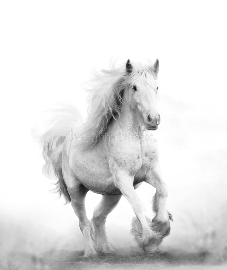 Beautiful snow white horse running stock photo