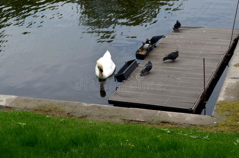 Beautiful snow-white swan and pigeons near the feeders. Wooden pontoon on the water. Park, lake stock photo