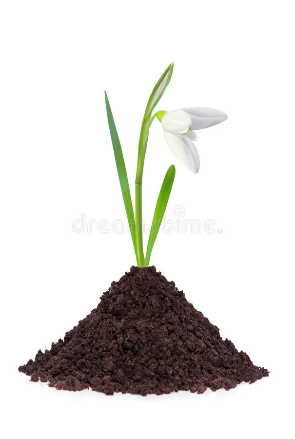 Beautiful snowdrop flower grouth in soil isolated. On white background stock image