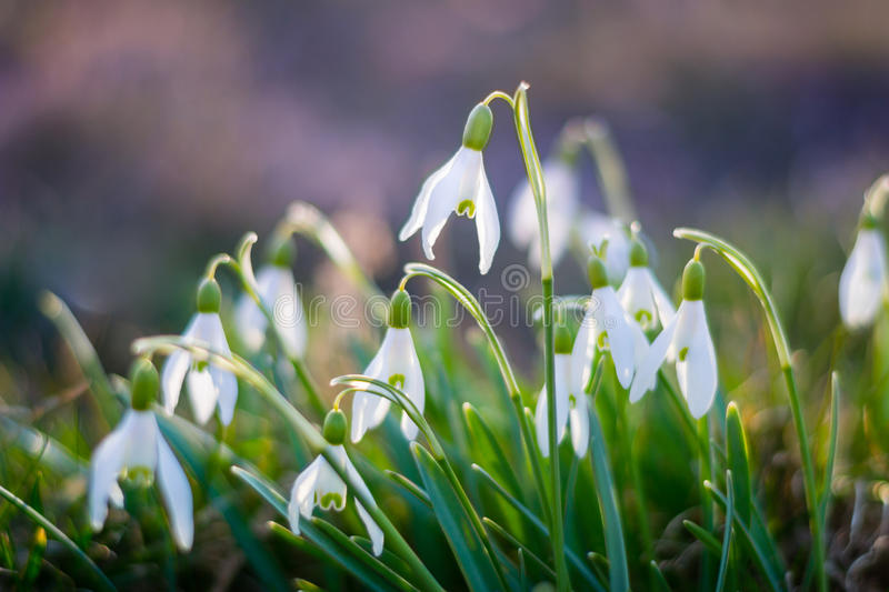 Beautiful Snowdrop flowers in spring. royalty free stock photos