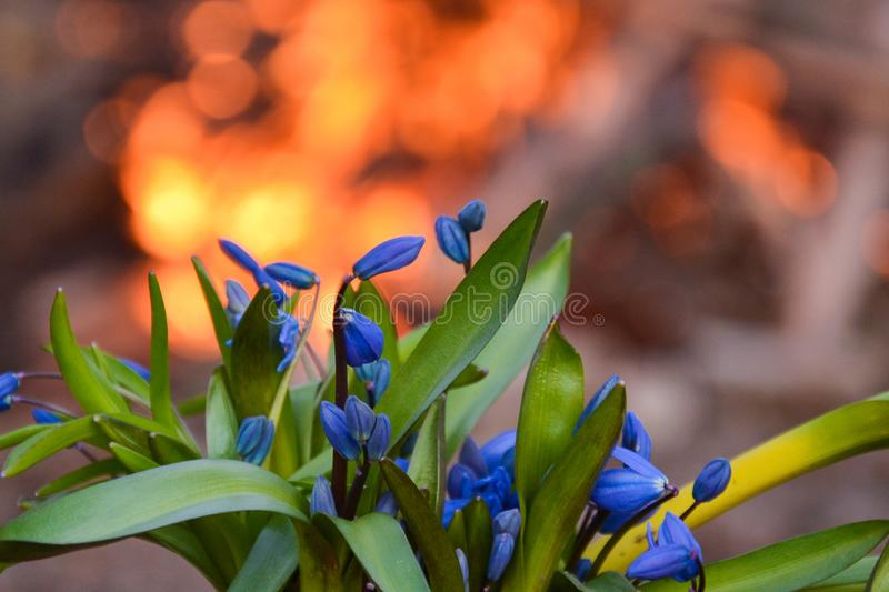 Beautiful snowdrops on fire stock image