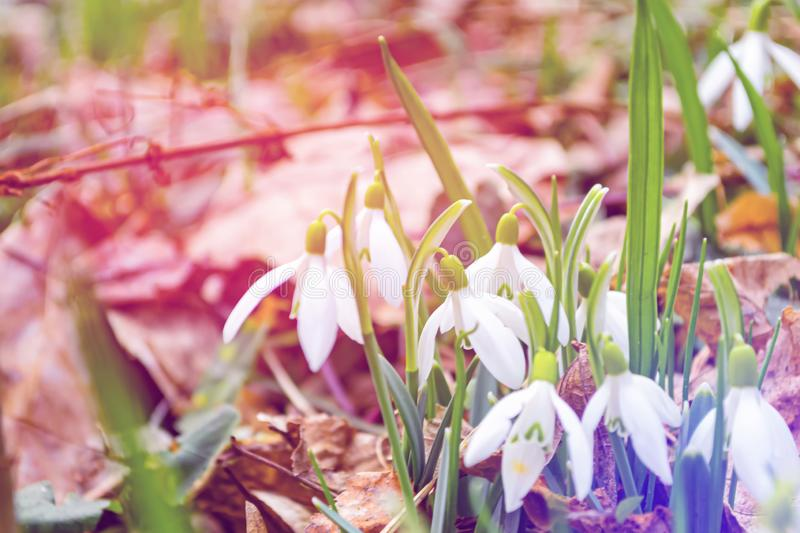 Beautiful snowdrops flowers background. Fresh spring photo. Colorful background.  royalty free stock photography
