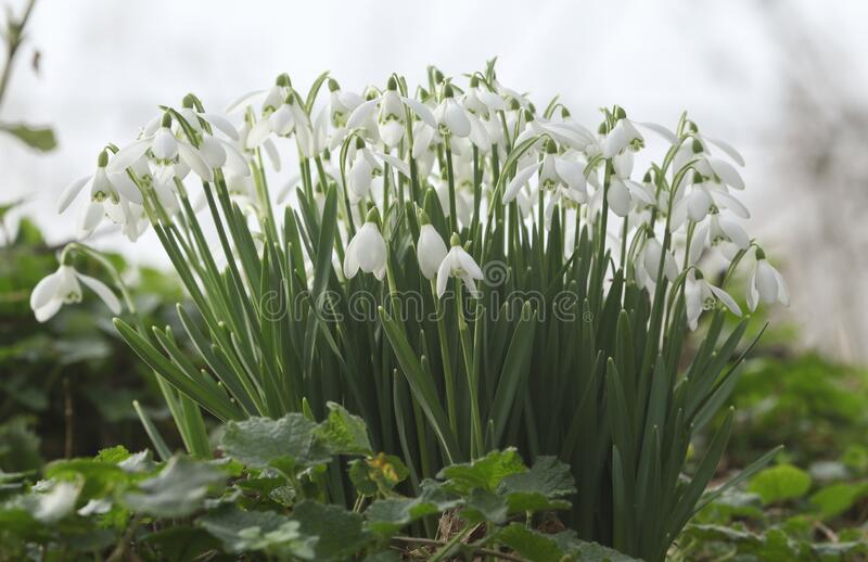 Beautiful Snowdrops, Galanthus, growing in woodland in winter in the UK. royalty free stock photo