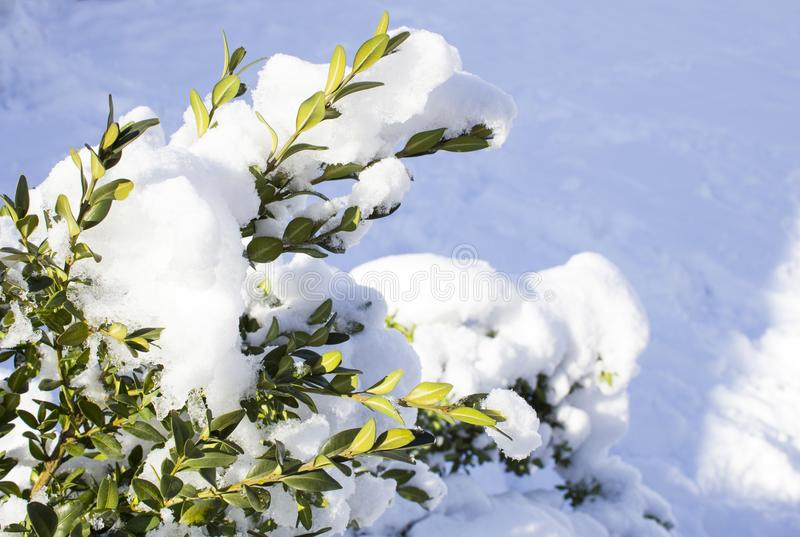Beautiful snowfall. Snow on the branches of bushes. And trees royalty free stock image
