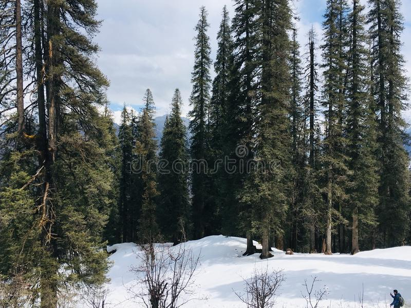 Beautiful Snowy Covered Pine Tress. Bunch of Amazing Pine Trees With the texture of Snow.  there is always a life in between all these Pine tress royalty free stock photos