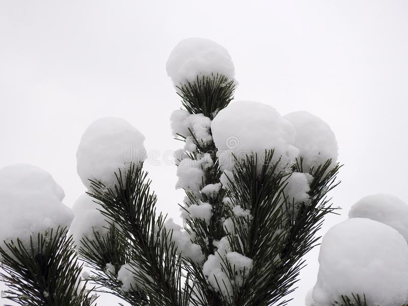 Beautiful snowy pine tree branches, Lithuania royalty free stock photography