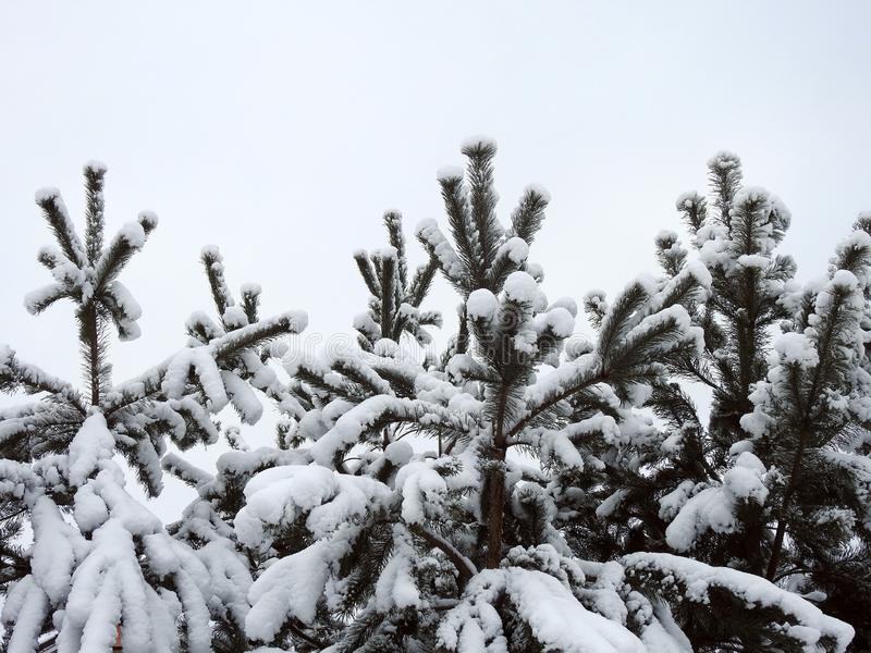Beautiful snowy pine tree branches, Lithuania royalty free stock photos
