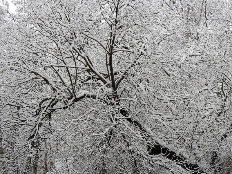 Beautiful snowy tree branches, Lithuania stock photo