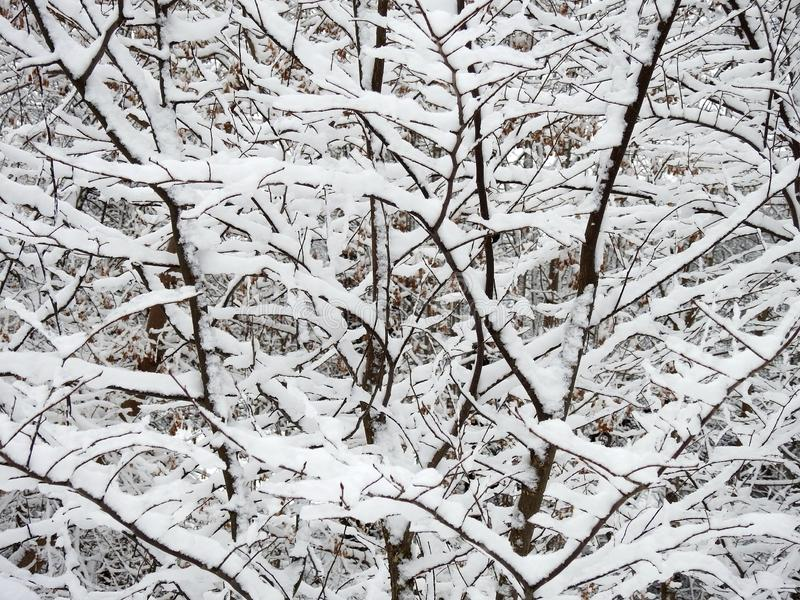 Beautiful snowy tree branches, Lithuania royalty free stock photo