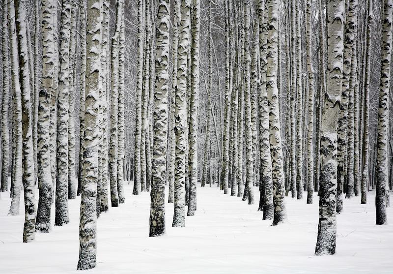 Beautiful snowy trunks of birch trees in winter forest. Snowy trunks of birch trees in winter forest royalty free stock photography