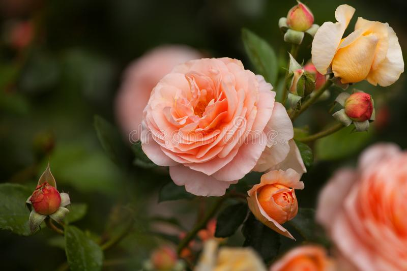 Beautiful soft coral tea roses flowers in bloom close up, tender salmon pink color rose blossom, red and yellow aphrodite hybrid royalty free stock images