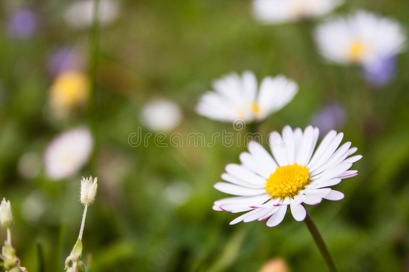 Beautiful soft daisy meadow flower in morning dew.  stock photos