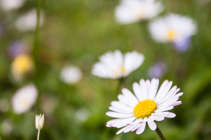 Beautiful soft daisy meadow flower in morning dew.  royalty free stock image