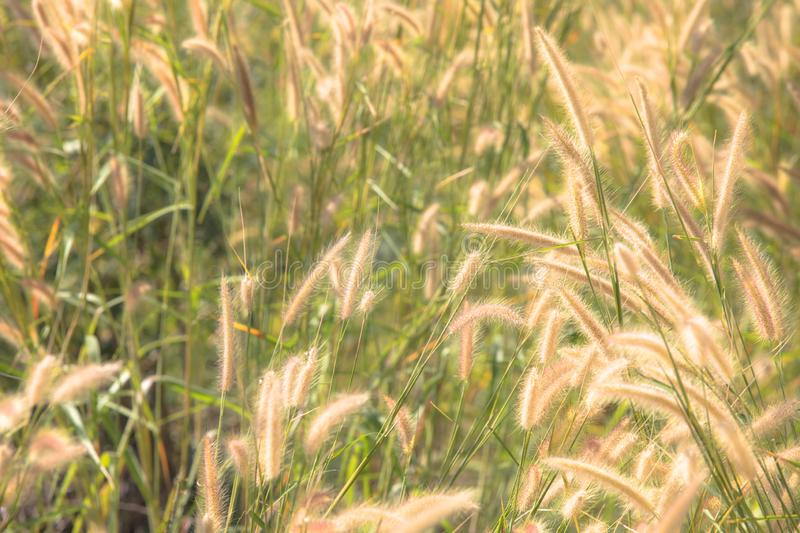 Beautiful soft focus on white grass flower meadow field  in warm light of sunset or evening time or orange tone background. royalty free stock photo