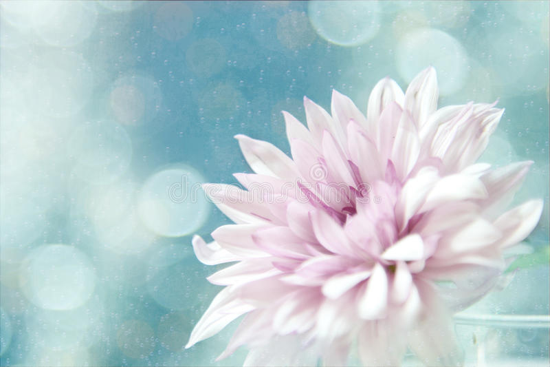 A beautiful soft pink flower. stock photos