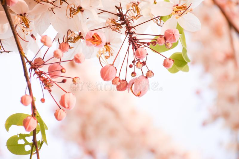 Beautiful soft pink and white flower of Wishing Tree blooming with blurred background stock photography