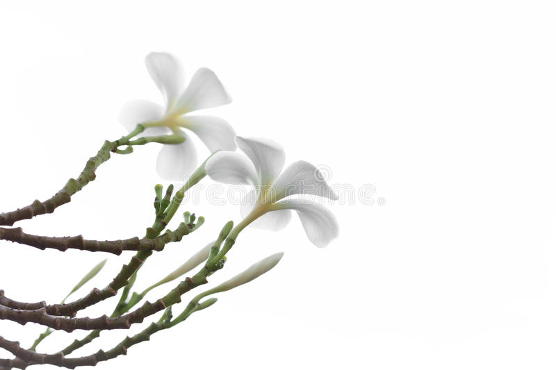 Beautiful and soft white Frangipani or Plumeria flower isolated stock photos