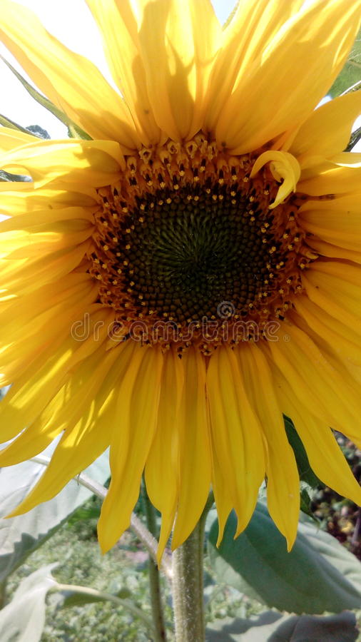 Beautiful solar, summer, with sunflower seeds a sunflower. royalty free stock photography