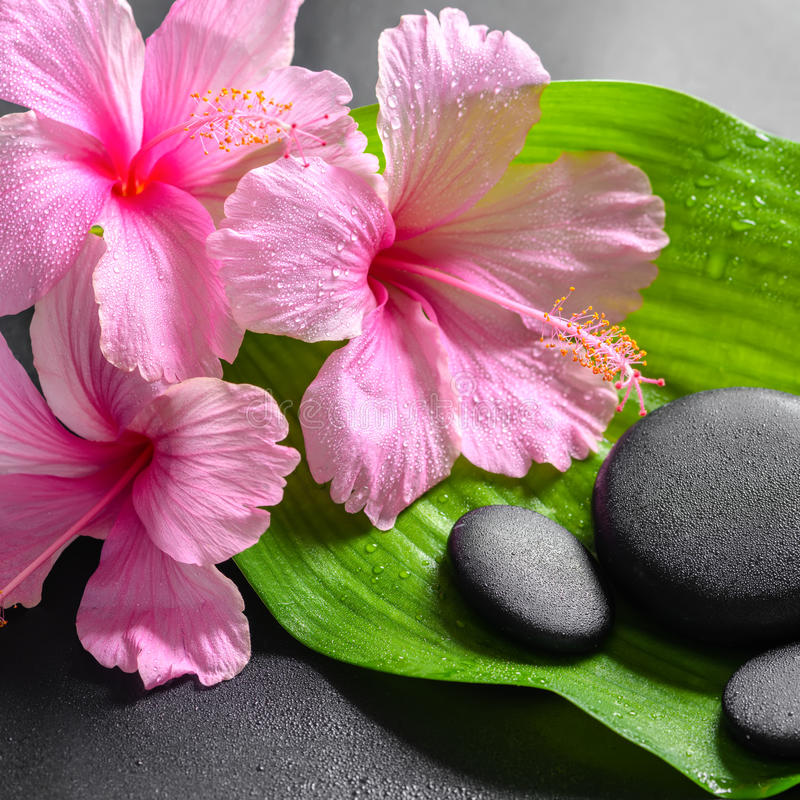 Beautiful spa concept of pink hibiscus flowers and zen basalt st. Ones on big green leaf with drops, closeup stock images