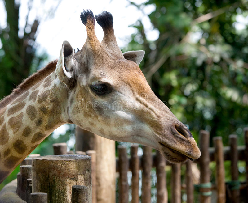 Beautiful Specimen Of A Mature Giraffe Stock Images