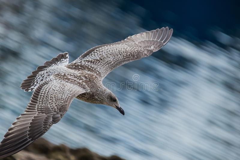 bird alone gull in summer on the beach in flight on blue and white sky backgrounds stock image