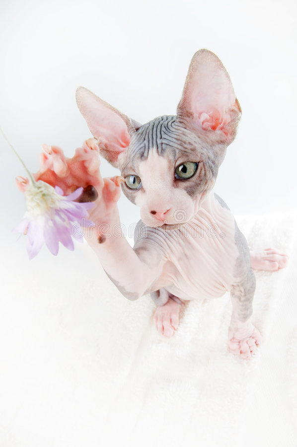 Download Beautiful Sphinx Kitten Hunting Stock Image - Image of white, domestic: 6413929