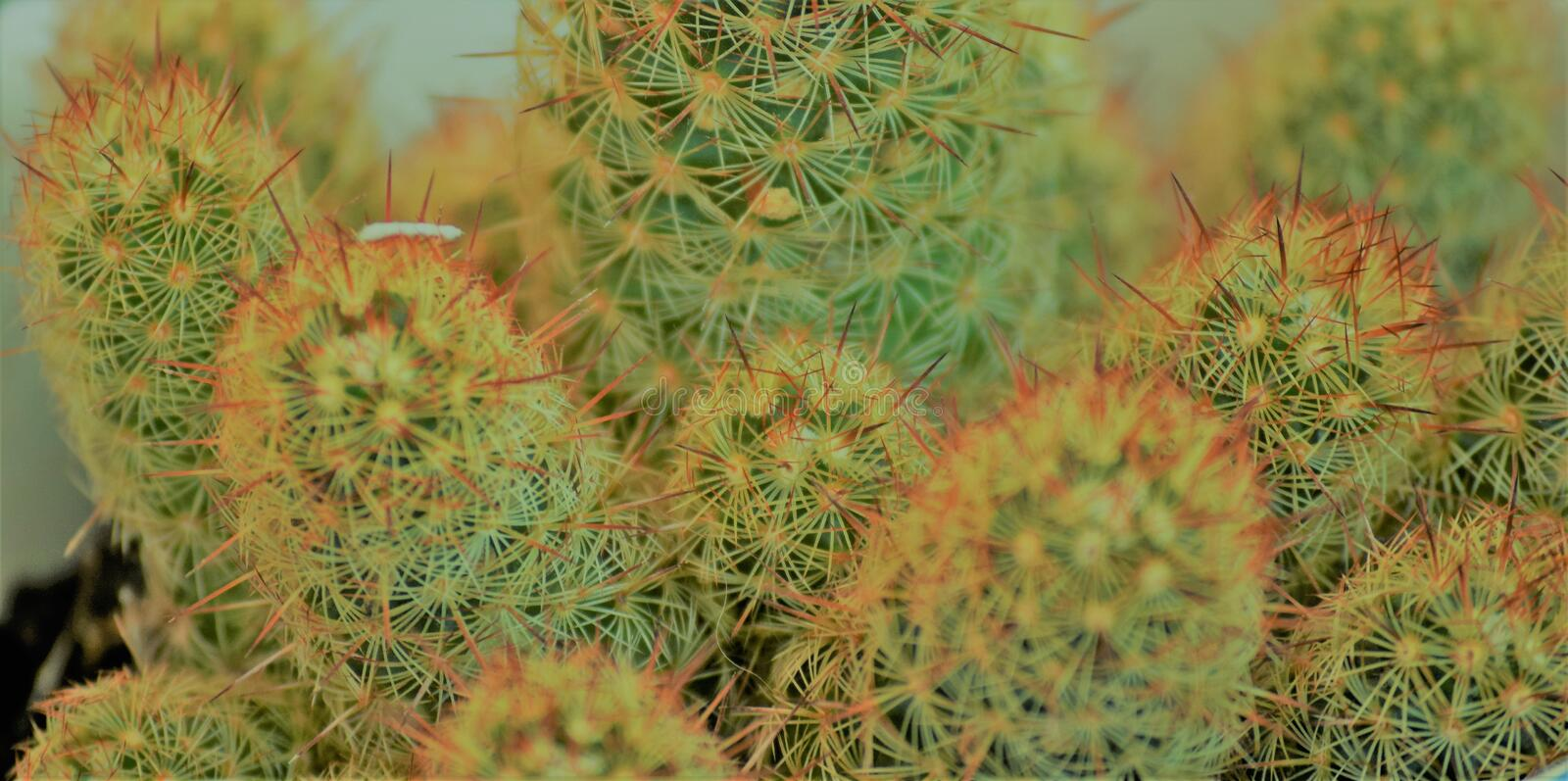 Beautiful spicky details of a Cactus stock photos