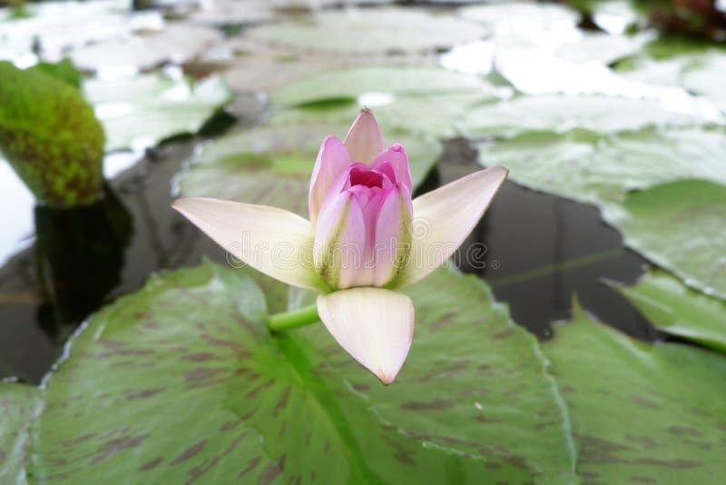 Beautiful spiritual start blooming lotus. stock image