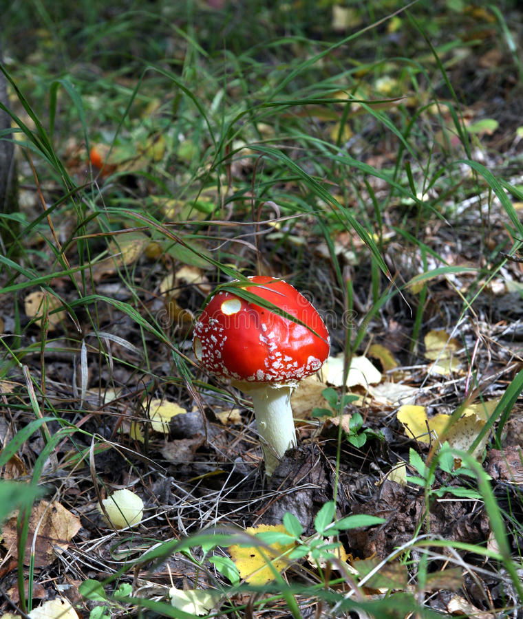 Beautiful spotted red mushroom in a forest glade. The spotted red fly agaric in autumn forest. Mushroom on a glade in autumn mushroom forest. Mushroom with red royalty free stock image