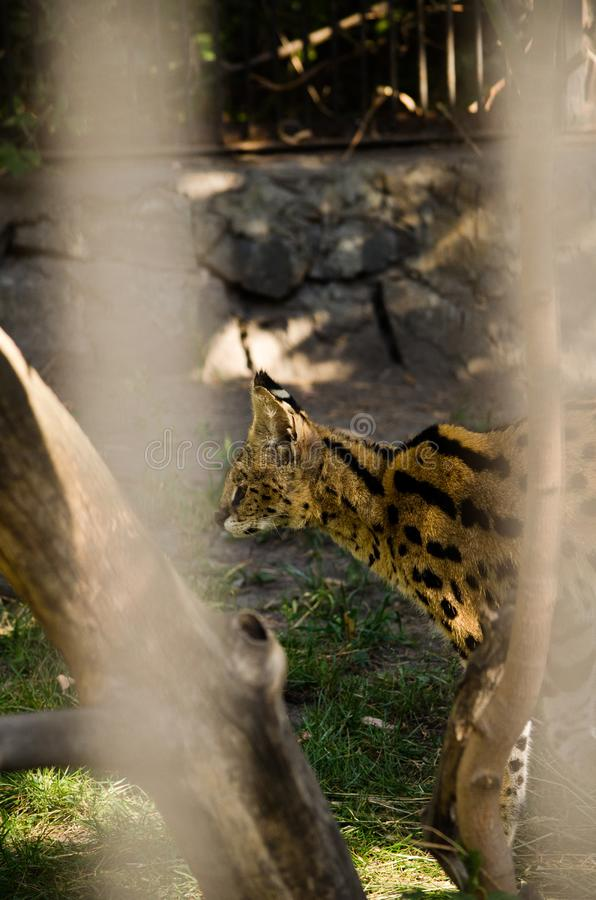 A beautiful spotted wildcat serval is sitting in a cage at the z stock photos