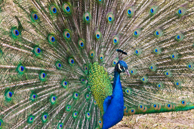 Beautiful Spread Of A Peacock Stock Image