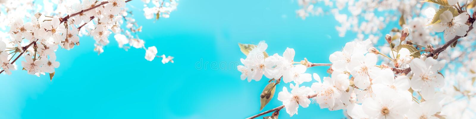 Branches of blossoming cherry on light blue sky background panoramic view royalty free stock images