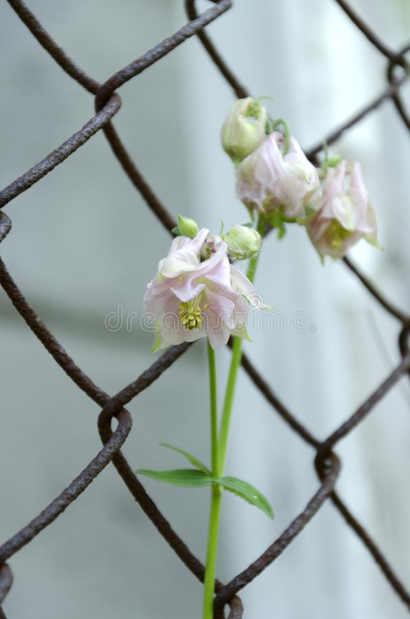 Beautiful spring bellflower against garden fence, vertical shot royalty free stock photos