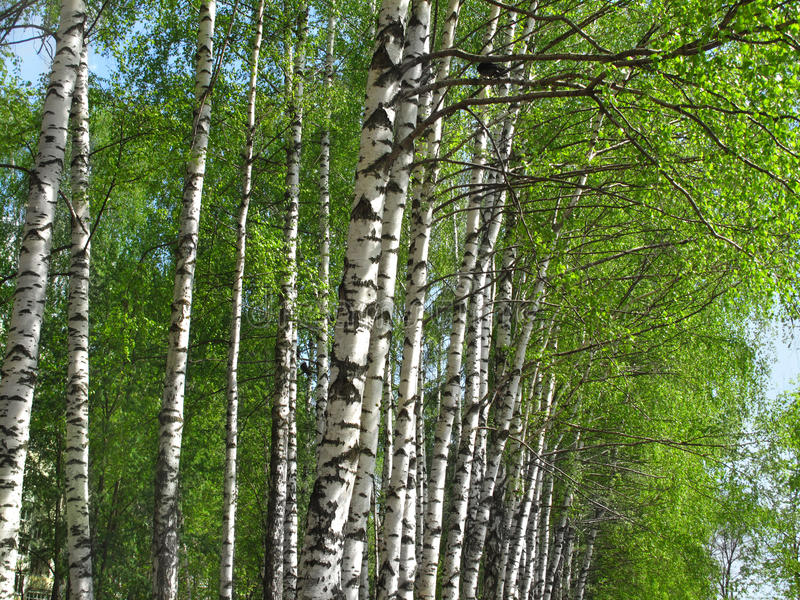 Download Beautiful spring birch stock image. Image of forest, green - 30939157
