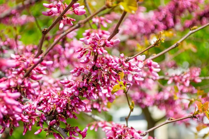 Beautiful spring bloom of Cercis canadensis. A branch of eastern redbud tree with many small pink flowers against a background of stock photo