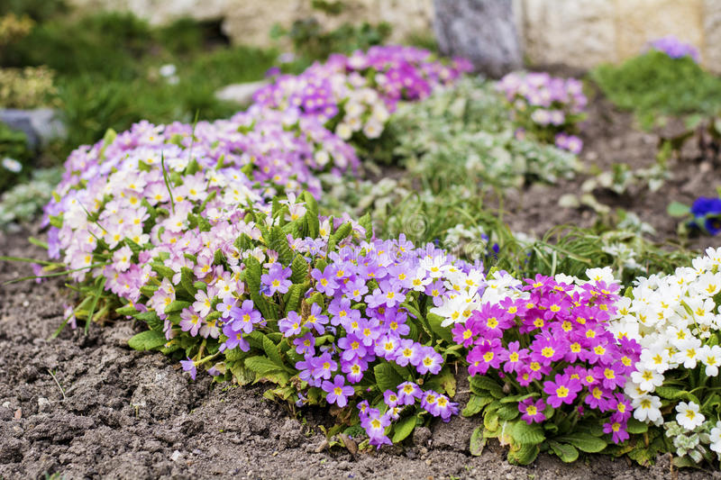Beautiful spring blooming garden. With different colors primroses stock image