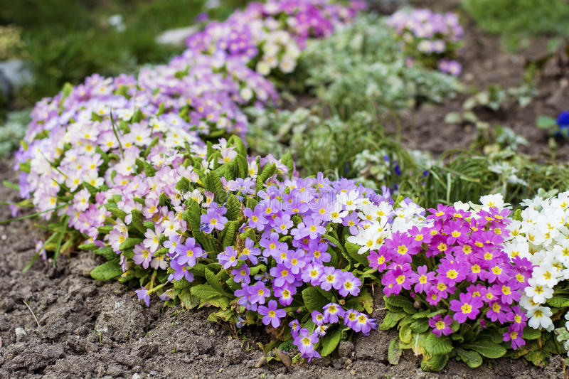 Beautiful spring blooming garden. With different colors primroses stock photography