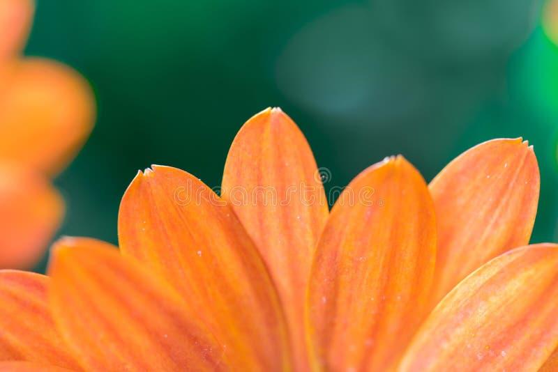Beautiful spring blossom, greeting card. Gerbera royalty free stock image