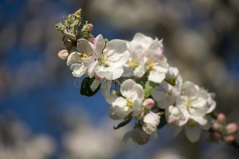 Beautiful spring blossoming apple tree stock photos