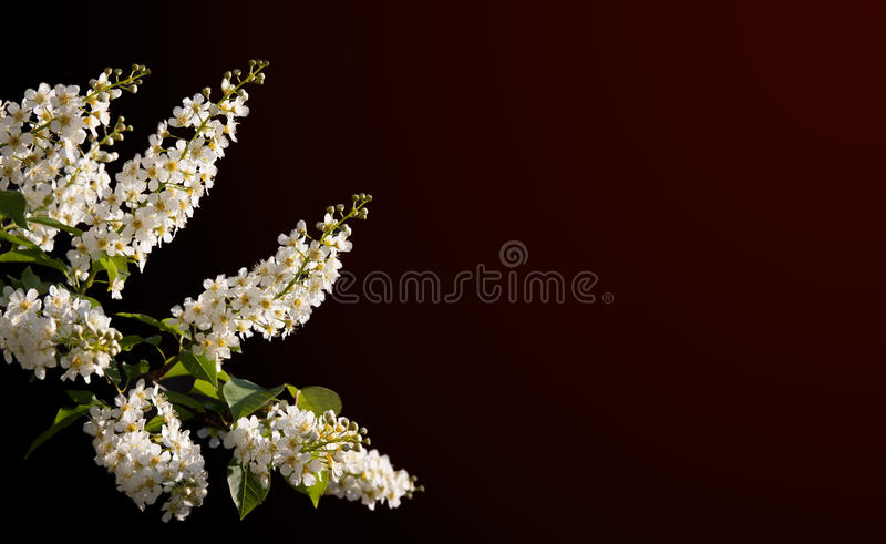 Download Beautiful spring blossoms stock image. Image of brunch - 19704353