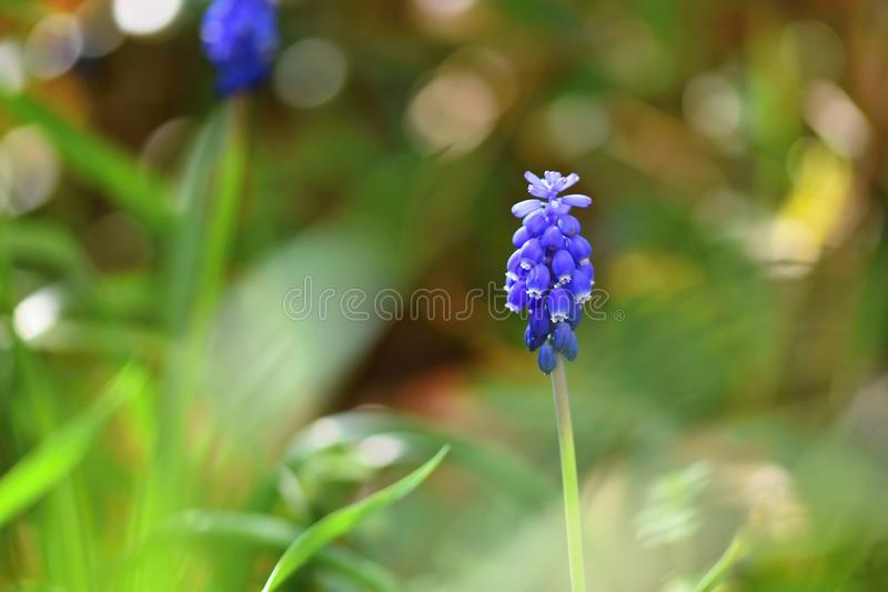 Beautiful spring blue flower grape hyacinth with sun and green grass. Macro shot of the garden with a natural blurred background. royalty free stock photo